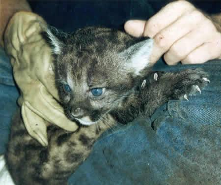 A newborn purebred Florida panther, pictured, has a much smaller chance of survival than a hybrid cat