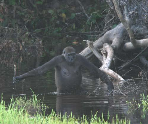 The gorilla repeatedly prodded the stick ahead of her as if to test for depth