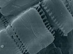 The features of many diatoms are tens of nanometres in size