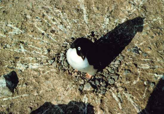 A penguin minding its nest, and surrounded by the streaky evidence of its poop-shooting