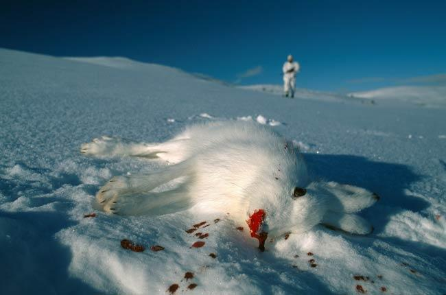 Mountain Shot: The startling contrast of blood on snow illustrates just one of the human impacts on global wildlife