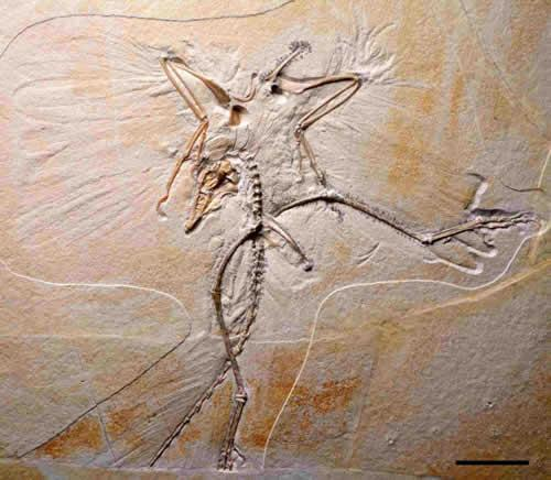 With jagged teeth and raptor-like features, the feathered archaeopteryx is unlike any modern species of bird