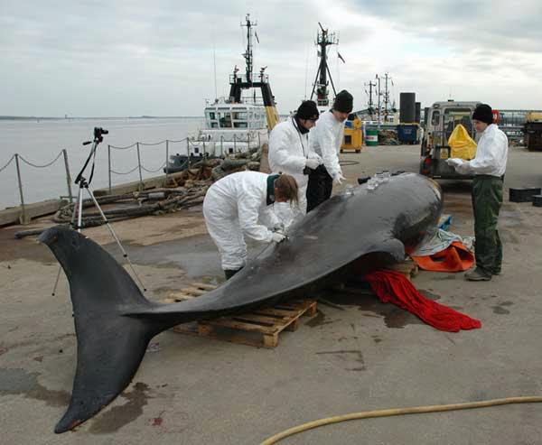 The Northern bottlenose whale was carried by barge back towards the mouth of the River Thames