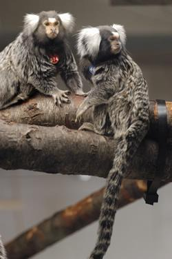 Because they are so hairy it was impossible to see the weight gain during pregnancy in the female marmosets (red tag) or the male marmosets (right)
