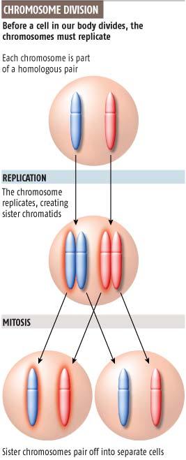Chromosome division