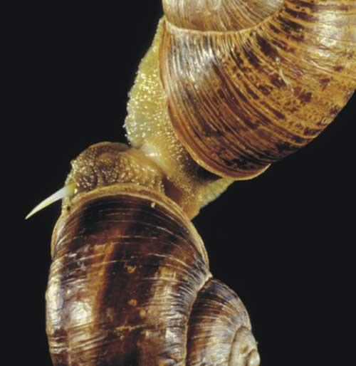 The brown garden snail at the top of the photograph has shot a slender white dart into its partner below