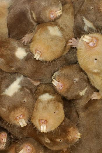 Damaraland mole-rats (Crypotmys damarensis) get up close and personal (Image: T Jackson