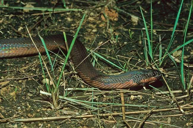 The newly discovered snake species can turn itself white within a matter of minutes
