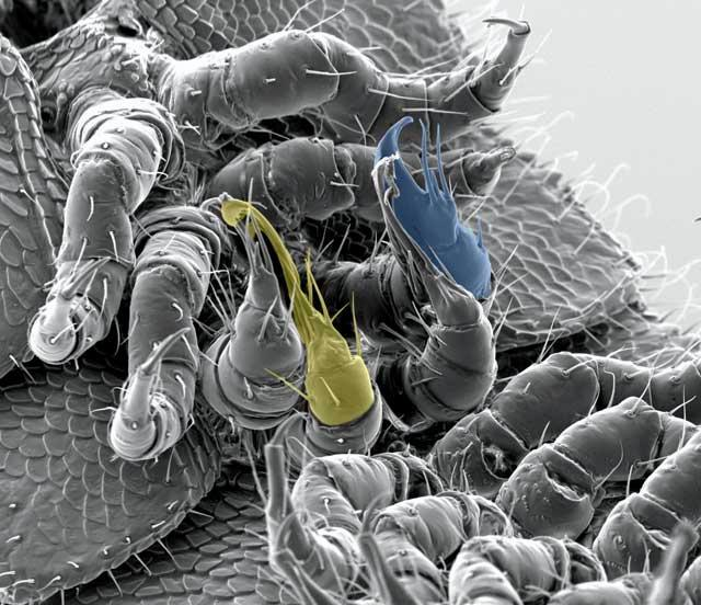 Males only boast between 300 and 400 legs, but two are modified into sex organs, coloured blue and yellow