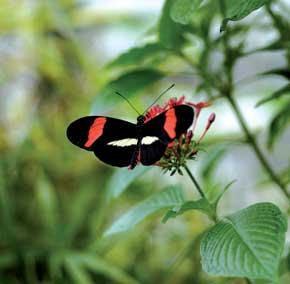Heliconius heurippa had often been suspected to be a hybrid
