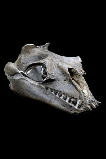 Janjucetus hunderi was about 3.5 metres long, and its skull measured about 46 centimetres in length