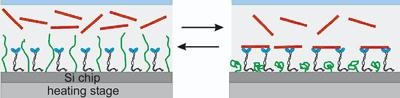 At lower temperatures polymer molecules unravel and prevent the action of molecular motors