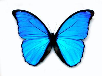 Many butterflies have irridescent colourings created by natural photonic crystals
