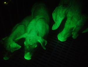 Pigs genetically modified with Green Fluorescent Protein (GFP)