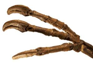 A fossilised dinosaur hand (from a Deinocheirus) - but how do such fossils form?