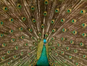 A male peacock displaying his fanned tail feathers