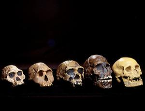 Five skulls belonging to some ancestors and relatives of modern humans. From left to right, the skulls are: Australopithecus africanus (3-1.8 mya); Homo habilis (or H. rudolfensis, 2.1-1.6 mya); Homo erectus (or H. ergaster, 1.8-0.3 mya, although the ergaster classification is generally recognised to mean the earlier part of this period); a modern human (Homo sapiens sapiens) from the Qafzeh site in Israel, which is around 92,000 years old; and a French Cro-Magnon human from around 22,000 years ago