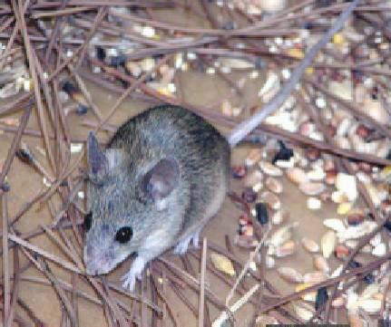 The Cypriot mouse overturns the widely held belief that every living species of mammal had been identified in Europe