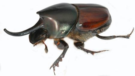 In the beetle Onthophagus nigriventris researchers have found a trade-off between testicle and horn size