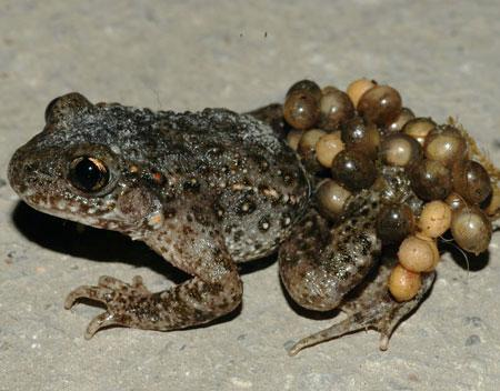 Climate and disease have driven the decline of Spain's midwife toad - so-called for the male's habit of carrying a string of fertilised eggs on his back