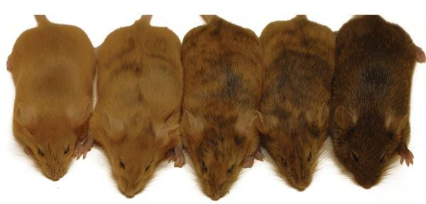 The mice on the left-hand side have active AVY genes, giving them golden fur, while those on the right have silenced AVY genes