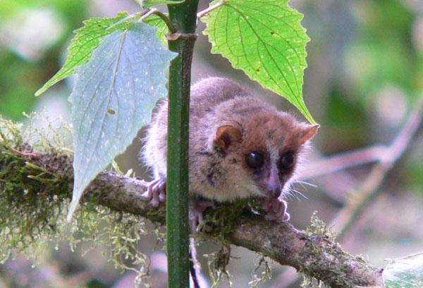 Mouse lemurs Microcebus griseorufus are the smallest primates. They are nocturnal creatures that inhabit the rainforests of Madagascar