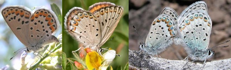 The proud parents Lycaeides Melissa and L. ida (left and middle) gave rise to a new species of butterfly (right) that is able to mate successfully
