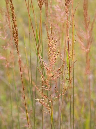 A restored prairie in Minnesota with Indian grass (Sorghastrum nutams) is about to drop its seed