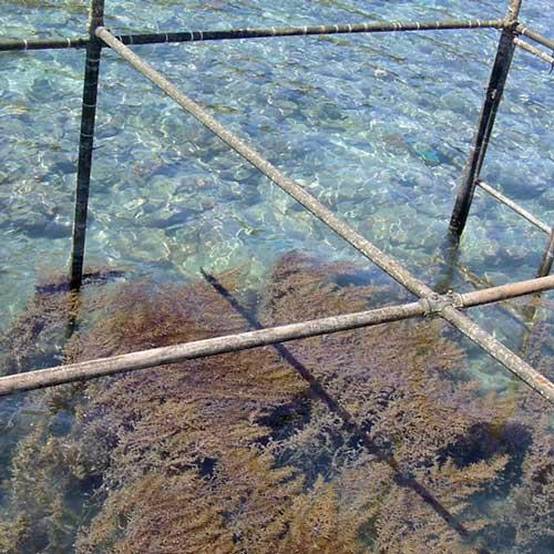 Three years on and after the cage mesh has been removed, seaweed has clearly taken over the caged areas
