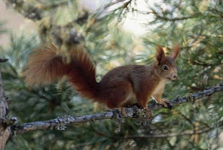 The American red squirrel can somehow predict a large seed harvest months in advance