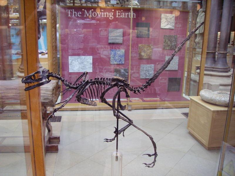 Bambiraptor skeleton in the Oxford University Museum of Natural History in the UK