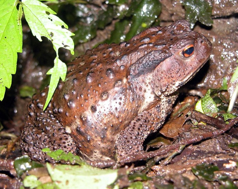 Japanese toad Bufo japonicus from the toad-rich island of Ishima, Japan