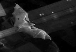 Wind tunnel tests reveal the bats unique style