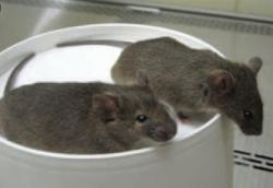 Two 6-week-old mice cloned from skin cells of an adult male mouse (Image: Peter Mombaerts/Elaine Fuchs