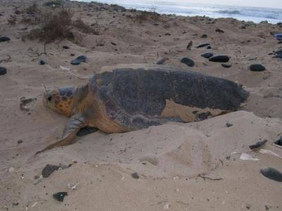 A female turtle nests in North Carolina