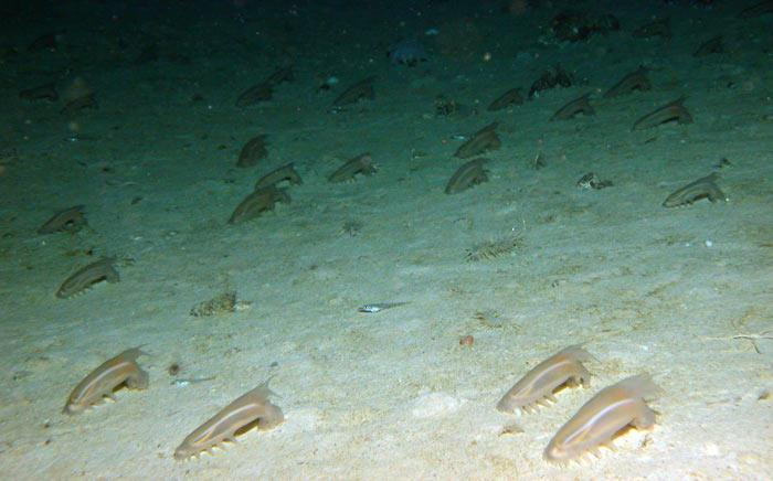 The researchers found an abundance of deep-sea sea cucumbers in the relatively shallow waters of the Larsen B area