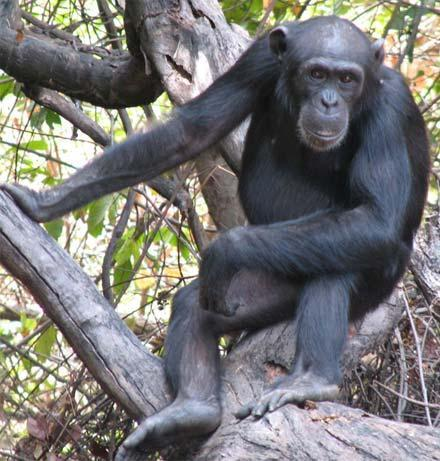 Tia, an adolescent female chimp, is a frequent tool user