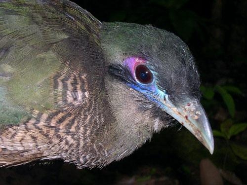 The bird has delicate green feathers, and is on the World Conservation Union's Red List of endangered species