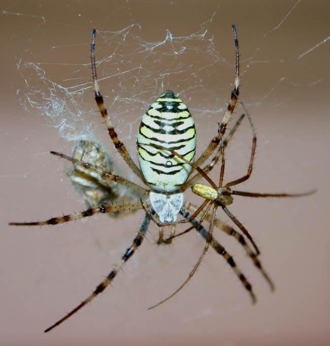 The female wasp spider dwarfs her male counterpart