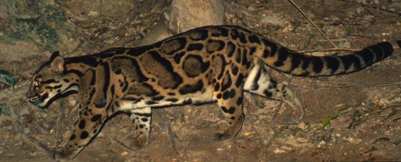 The spots on the mainland clouded leopard, Neofelis nebulosa (pictured), are different to those of the Bornean clouded leopard