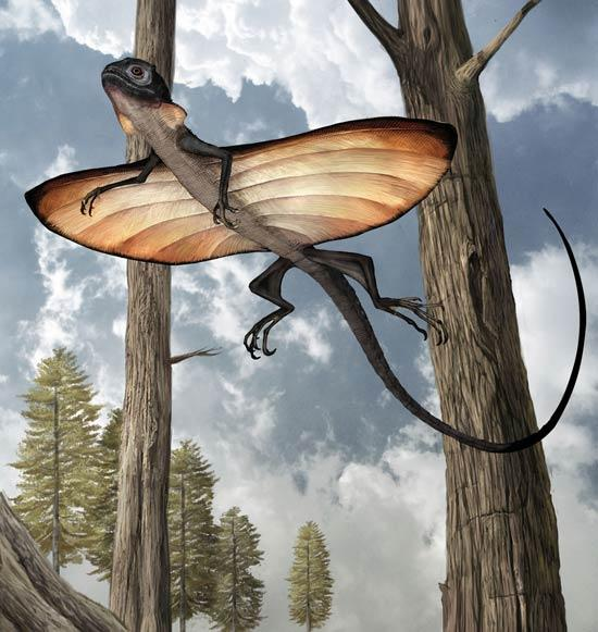 The lizard's elongated ribs spread a wing-like membrane for gliding