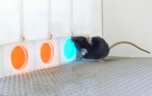 A mouse drinks a drop of soymilk as a reward for correctly identifying which one of three illuminated panels is different from the other two