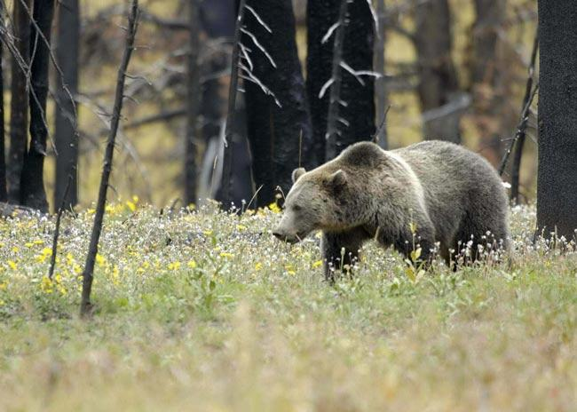 Grizzly bears weigh up to 680 kilograms; the large hump over their shoulders is a muscle mass used to power the forelimbs when they dig