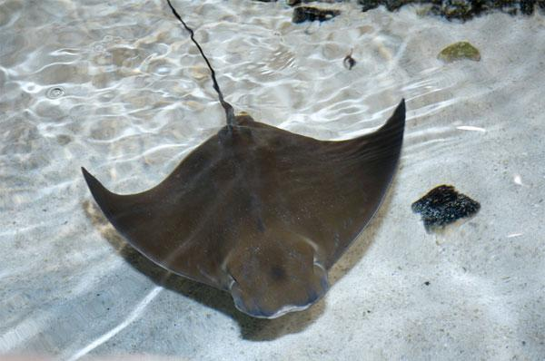 Populations of cownose rays have boomed following the demise of the big sharks along the eastern US coastline