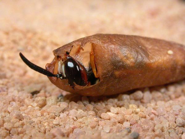 A female beewolf wasp emerges from her cocoon