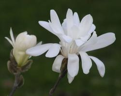 Magnolia sargentiana are found in the Meigu-Dafengding Nature Reserve, Sichuan, in China