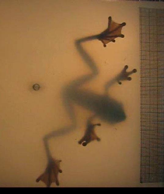 Researchers filmed the frogs hanging upside-down in a transparent container