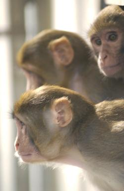 Rhesus macaques at the Southwest National Primate Research Center, where one female provided the DNA sample used in the genome sequencing