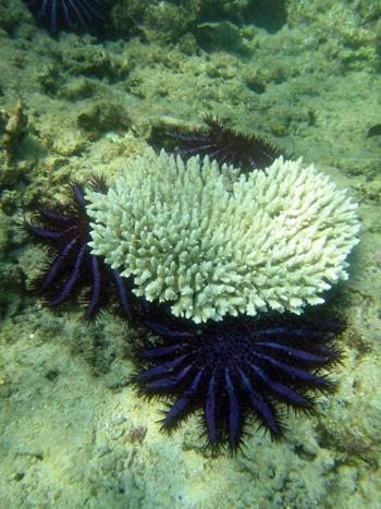 Crown of thorns starfish and a recently eaten coral