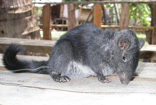 The first images of a live Laotian rock rat were captured during a Southeast Asian expedition led by a retired Florida State University researcher in 2006